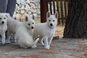 White-Swiss-Shepherd-Puppies-BTWW-Ninjas-150719-0009