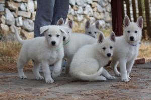 White-Swiss-Shepherd-Puppies-BTWW-Ninjas-150719-0011