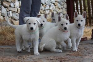 White-Swiss-Shepherd-Puppies-BTWW-Ninjas-150719-0012