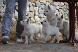 White-Swiss-Shepherd-Puppies-BTWW-Ninjas-150719-0013