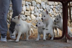 White-Swiss-Shepherd-Puppies-BTWW-Ninjas-150719-0014