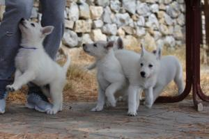 White-Swiss-Shepherd-Puppies-BTWW-Ninjas-150719-0015
