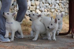 White-Swiss-Shepherd-Puppies-BTWW-Ninjas-150719-0016