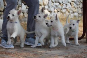 White-Swiss-Shepherd-Puppies-BTWW-Ninjas-150719-0017