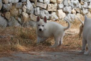 White-Swiss-Shepherd-Puppies-BTWW-Ninjas-150719-0020