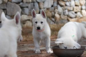 White-Swiss-Shepherd-Puppies-BTWW-Ninjas-150719-0021