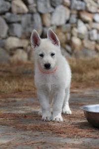 White-Swiss-Shepherd-Puppies-BTWW-Ninjas-150719-0022
