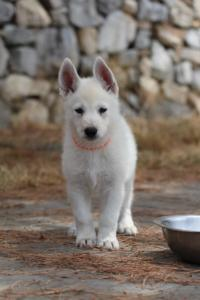 White-Swiss-Shepherd-Puppies-BTWW-Ninjas-150719-0023