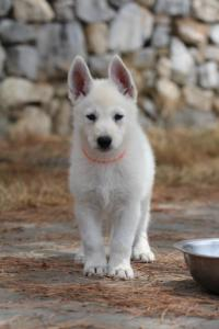 White-Swiss-Shepherd-Puppies-BTWW-Ninjas-150719-0024
