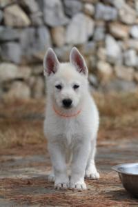 White-Swiss-Shepherd-Puppies-BTWW-Ninjas-150719-0025