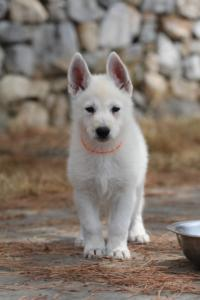 White-Swiss-Shepherd-Puppies-BTWW-Ninjas-150719-0026