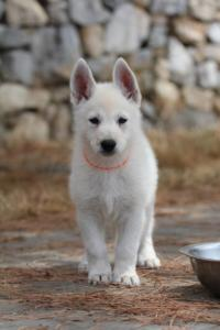 White-Swiss-Shepherd-Puppies-BTWW-Ninjas-150719-0027