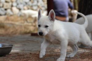 White-Swiss-Shepherd-Puppies-BTWW-Ninjas-150719-0028