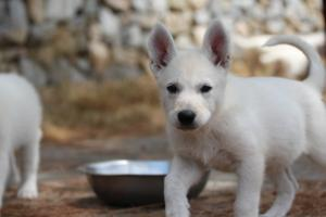 White-Swiss-Shepherd-Puppies-BTWW-Ninjas-150719-0030