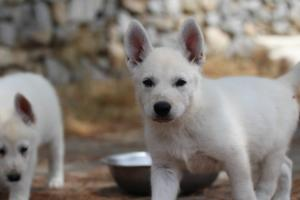 White-Swiss-Shepherd-Puppies-BTWW-Ninjas-150719-0031