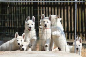 White-Swiss-Shepherd-Puppies-BTWW-Ninjas-230719-0001
