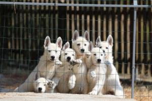 White-Swiss-Shepherd-Puppies-BTWW-Ninjas-230719-0002