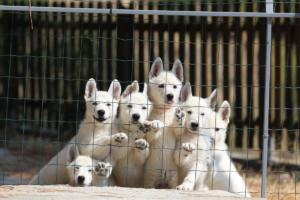 White-Swiss-Shepherd-Puppies-BTWW-Ninjas-230719-0003
