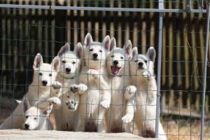 White-Swiss-Shepherd-Puppies-BTWW-Ninjas-230719-0004
