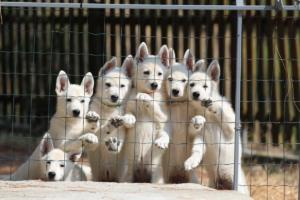 White-Swiss-Shepherd-Puppies-BTWW-Ninjas-230719-0005
