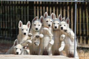 White-Swiss-Shepherd-Puppies-BTWW-Ninjas-230719-0006