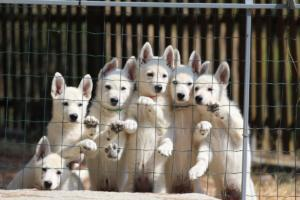White-Swiss-Shepherd-Puppies-BTWW-Ninjas-230719-0007