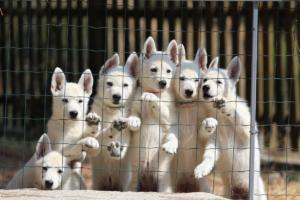 White-Swiss-Shepherd-Puppies-BTWW-Ninjas-230719-0008