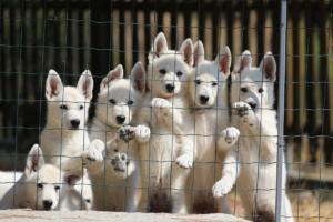 White-Swiss-Shepherd-Puppies-BTWW-Ninjas-230719-0009