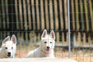 White-Swiss-Shepherd-Puppies-BTWW-Ninjas-230719-0010
