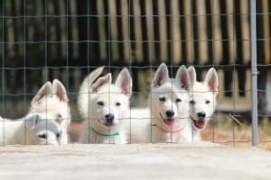 White-Swiss-Shepherd-Puppies-BTWW-Ninjas-230719-0011
