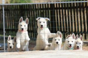 White-Swiss-Shepherd-Puppies-BTWW-Ninjas-230719-0012