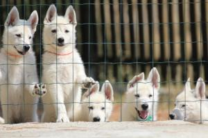 White-Swiss-Shepherd-Puppies-BTWW-Ninjas-230719-0013