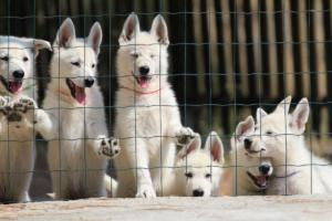 White-Swiss-Shepherd-Puppies-BTWW-Ninjas-230719-0014