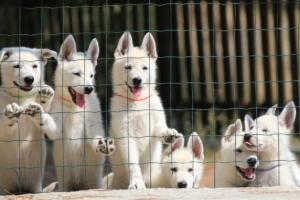 White-Swiss-Shepherd-Puppies-BTWW-Ninjas-230719-0015