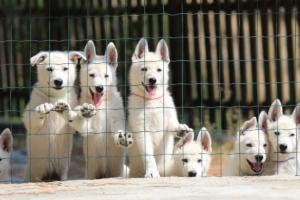 White-Swiss-Shepherd-Puppies-BTWW-Ninjas-230719-0016