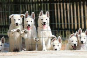 White-Swiss-Shepherd-Puppies-BTWW-Ninjas-230719-0017