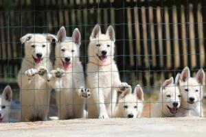 White-Swiss-Shepherd-Puppies-BTWW-Ninjas-230719-0018