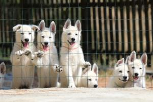 White-Swiss-Shepherd-Puppies-BTWW-Ninjas-230719-0019