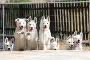 White-Swiss-Shepherd-Puppies-BTWW-Ninjas-230719-0020