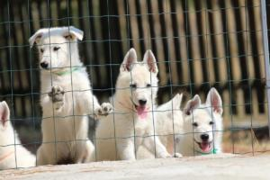 White-Swiss-Shepherd-Puppies-BTWW-Ninjas-230719-0021