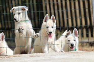 White-Swiss-Shepherd-Puppies-BTWW-Ninjas-230719-0022