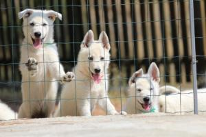 White-Swiss-Shepherd-Puppies-BTWW-Ninjas-230719-0023