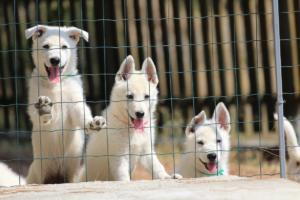 White-Swiss-Shepherd-Puppies-BTWW-Ninjas-230719-0024