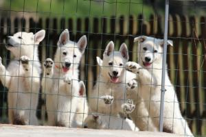 White-Swiss-Shepherd-Puppies-BTWW-Ninjas-230719-0025