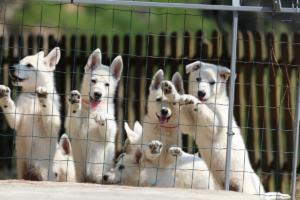 White-Swiss-Shepherd-Puppies-BTWW-Ninjas-230719-0026