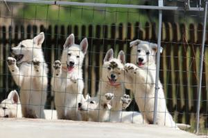 White-Swiss-Shepherd-Puppies-BTWW-Ninjas-230719-0027