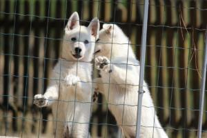 White-Swiss-Shepherd-Puppies-BTWW-Ninjas-230719-0028