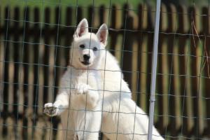 White-Swiss-Shepherd-Puppies-BTWW-Ninjas-230719-0029