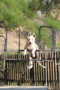 White-Swiss-Shepherd-Puppies-BTWW-Ninjas-0819-0001