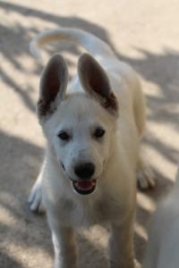 White-Swiss-Shepherd-Puppies-BTWW-Ninjas-0819-0010